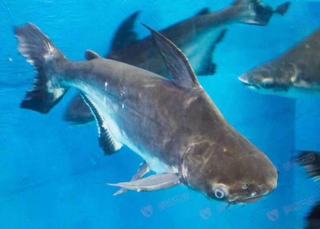 成吉思汗鱼该怎么养?